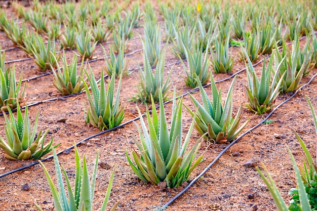 Aloe vera field at canary islands spain Premium Photo