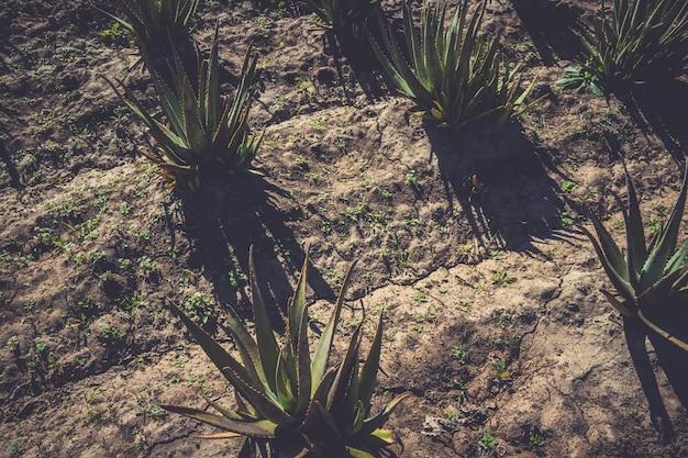 Aloe vera growing Premium Photo
