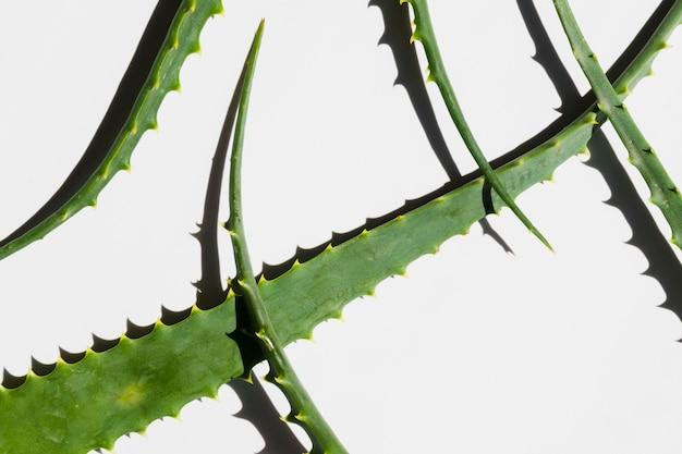 Aloe vera leaves for beauty treatment Free Photo