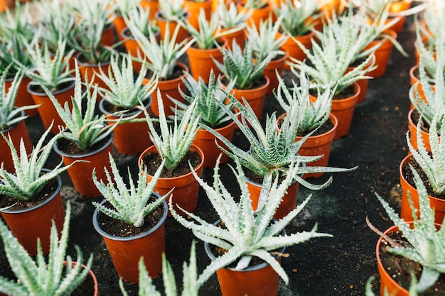 Aloe vera plant growing in a brown pots Free Photo