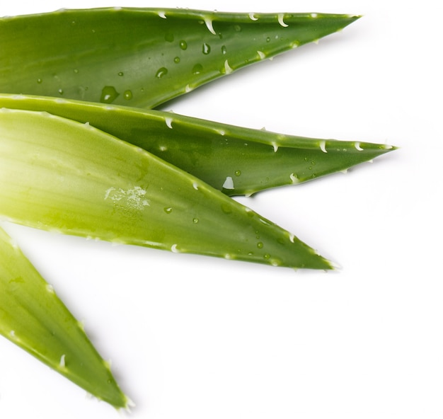 Aloevera on the table Free Photo