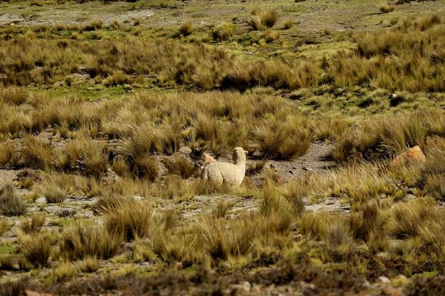 Alpaca grazing in the field of reserva nacional (national reserve) Premium Photo