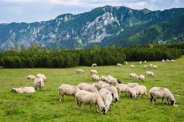 Alpine pastures in retezat national park, carpathians, romania. Premium Photo