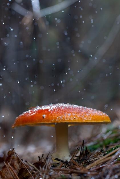 Amanita muscaria мухомор красные грибы с белыми пятнами в траве Premium Фотографии