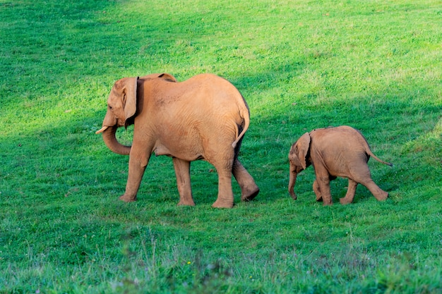 Amazing family of elephants. mom, dad and the son Premium Photo