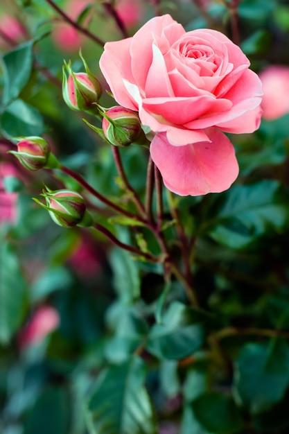 驚くほど開いた柔らかいピンクのバラと4つの閉じたつぼみ Premium写真