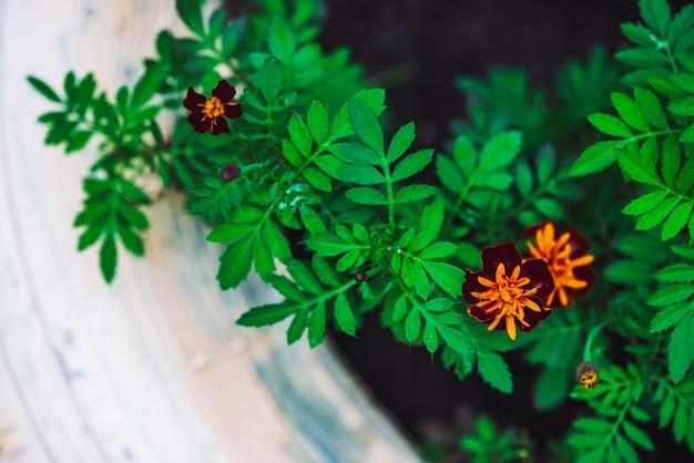 Amazing red orange tagetes in white flower bed close-up. Premium Photo