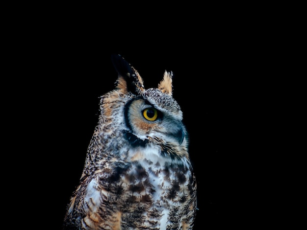 Amazing shot of a beautiful owl isolated on a black distance Free Photo