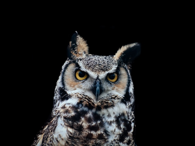 Amazing shot of a beautiful owl isolated on a black Free Photo