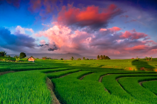 Amazing sky at rice fields in indonesia Premium Photo