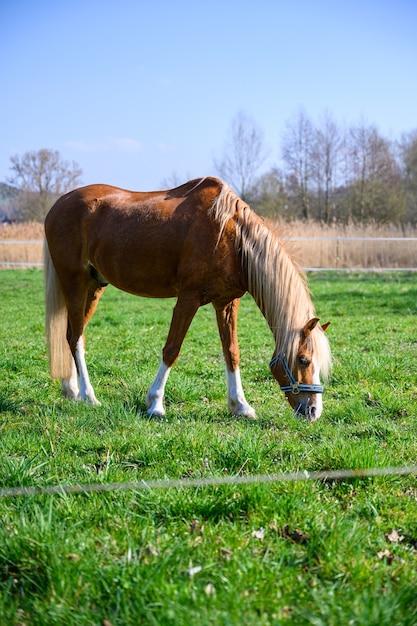 Incredibile vista di un bellissimo cavallo marrone che mangia un'erba Foto Gratuite