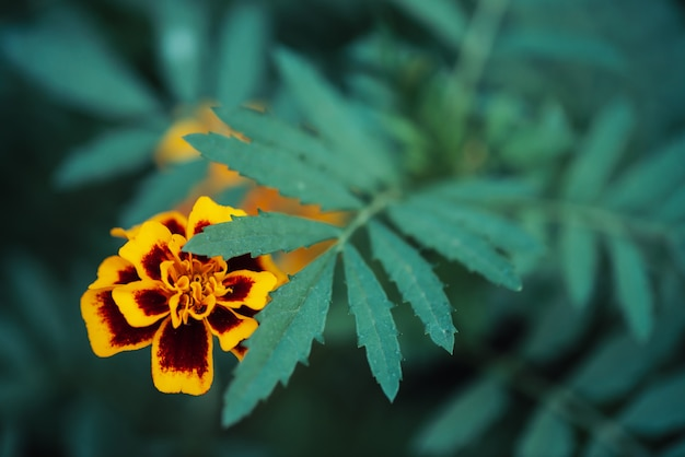 Amazing vintage marigolds grow among rich greenery. Premium Photo