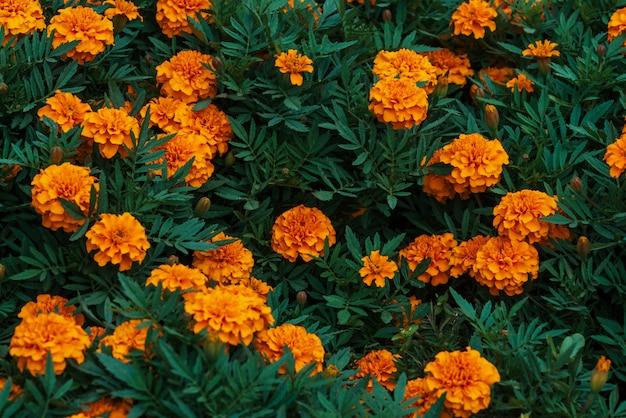 Amazing vintage marigolds grow among rich greenery Premium Photo