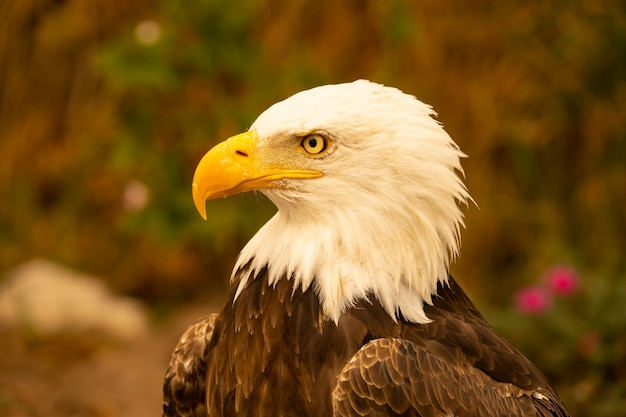 American bald eagle Premium Photo