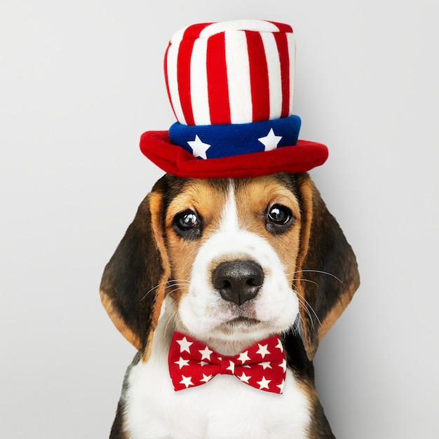 American beagle puppy Free Photo