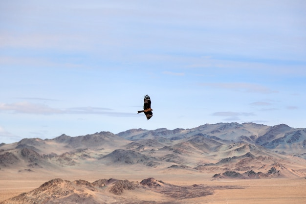 American brown eagle in flight over mongolian mountain Premium Photo