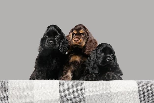 アメリカンコッカースパニエルの子犬のポーズ。灰色の背景で遊ぶかわいいダークブラックの犬やペット。 無料写真