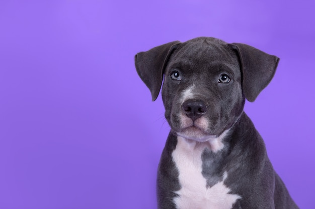 American staffordshire terrier puppy on the table Free Photo
