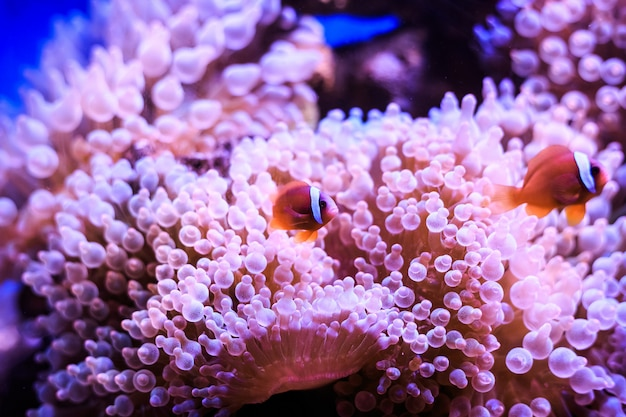 Amphiprion is in anemone. thailand. Premium Photo
