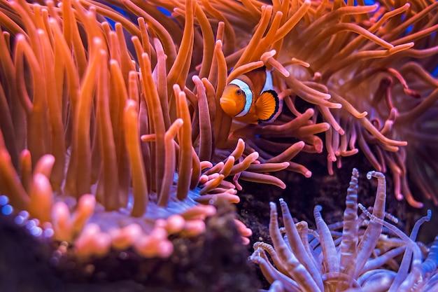 Amphiprion ocellaris clownfish in marine aquarium Premium Photo