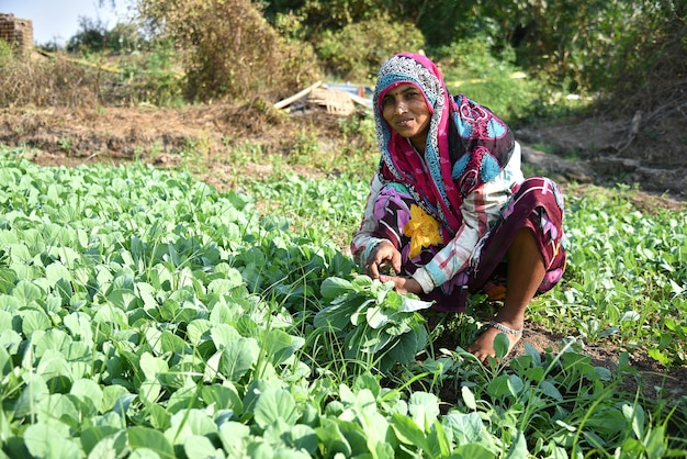 Amravati, maharashtra, india, 3 february 2017 : unidentified indian farm worker planting cabbage in field and holding bunch of small plant of cabbage in hands at the organic farm. Premium Photo