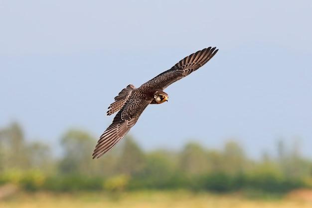 Amur falcon falco amurensis beautiful birds of thailand birds flying Premium Photo