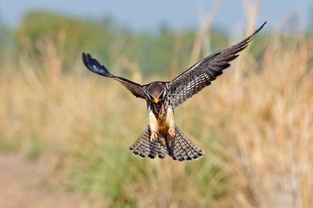 Amur falcon falco amurensis birds flying in the field Premium Photo