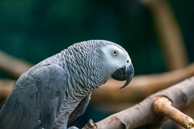 木の枝に座っているアフリカ灰色のオウム。 Premium写真