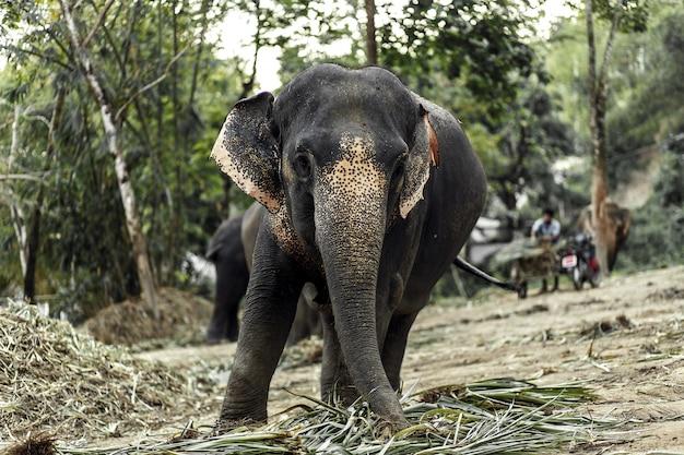 象がジャングルの中を歩いています。 Premium写真