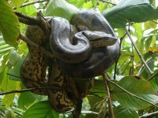Anaconda in tree Free Photo