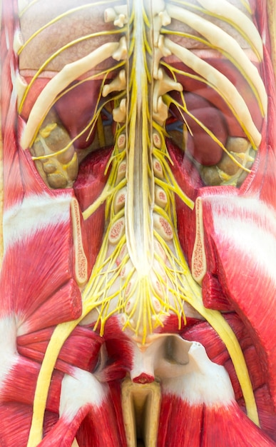 Anatomical model of human body, skeleton and muscular system. Premium Photo
