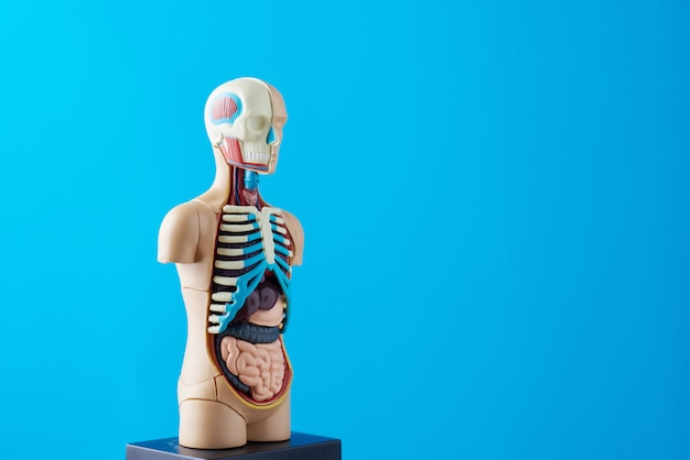 Anatomical model of human body with internal organs on a blue background. Premium Photo
