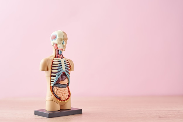 Anatomical model of human body with internal organs on a pink background Premium Photo