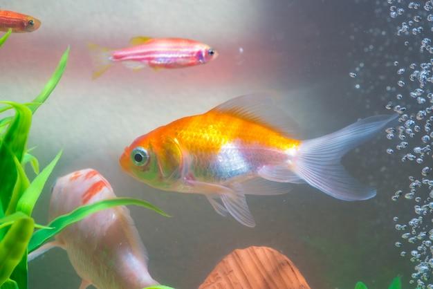 水槽や水族館の小さな魚、金の魚、グッピーと赤魚、派手なancy Premium写真