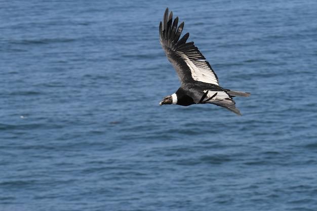 Andean condor flying Premium Photo