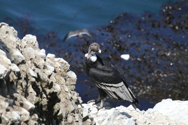 Andean condor on rocky coastline Premium Photo