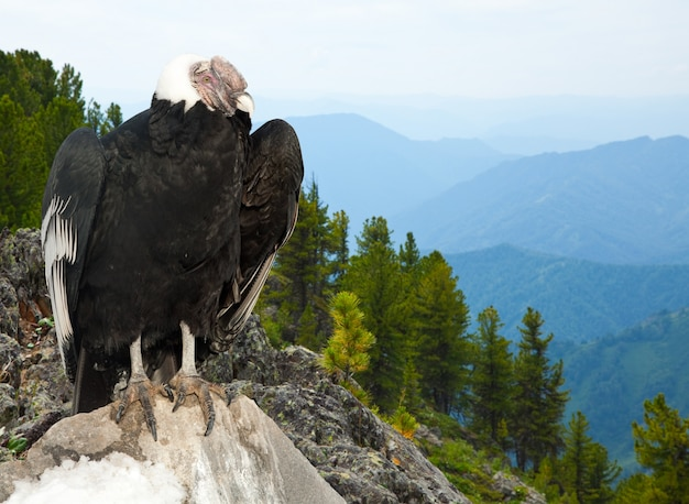Andean condor  in wildness area Free Photo
