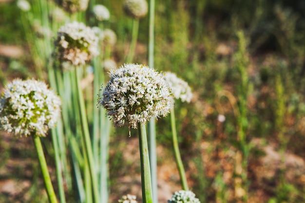 野生のアンジェリカ植物、側面図。 無料写真