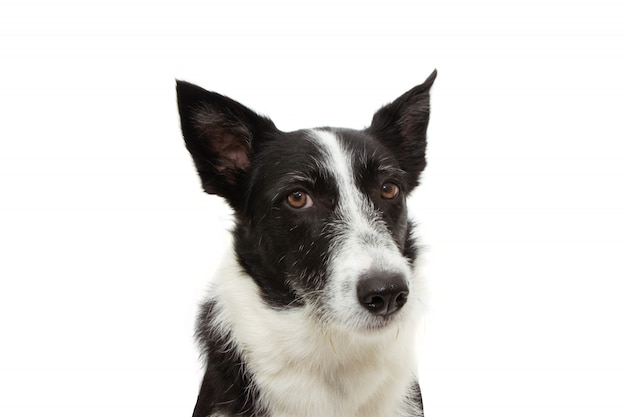 Angry border collie expression face isolated on white Premium Photo