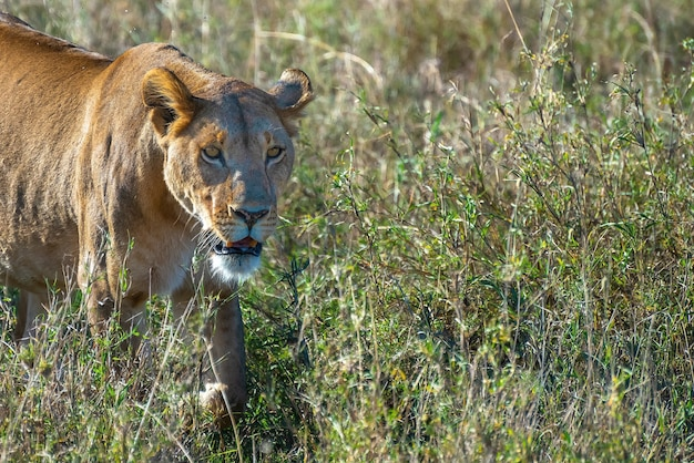Сердитая самка льва ищет добычу в поле травы в пустыне Бесплатные Фотографии