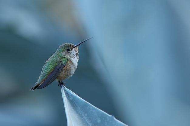 Anna's hummingbird! Premium Photo