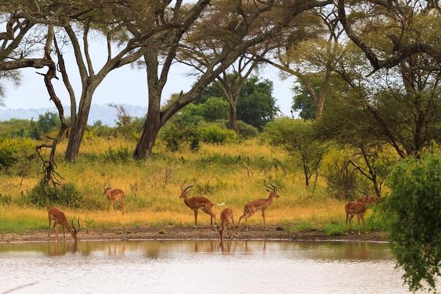 Антилопа у водопоя. небольшой пруд в саванне. танзания, африка Premium Фотографии