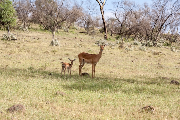 Antelope and her cub on a background of grass Free Photo