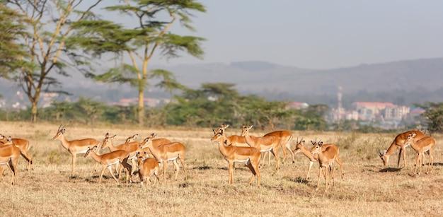 Антилопа в кении, африка Бесплатные Фотографии