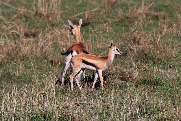 Antelope on safari in kenia and tanzania, africa Premium Photo
