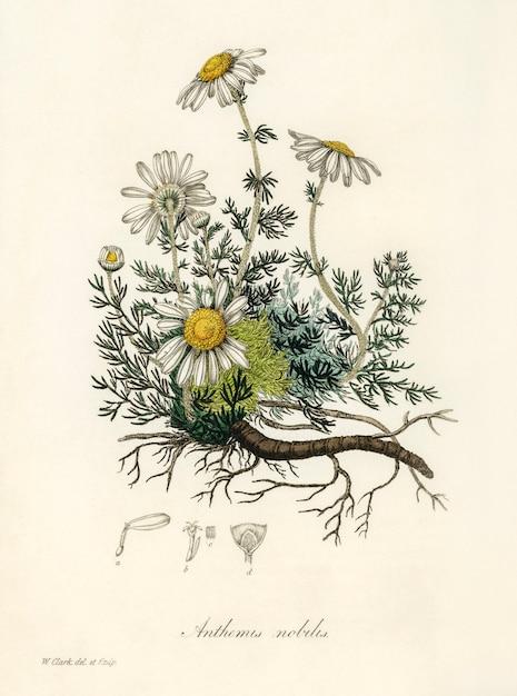 カモミール(anthemis nobilis)イラストレーション:medical botany(1836) 無料写真