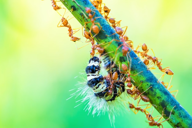 Ants Working As A Team Photo Premium Download