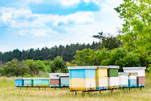 Apiculture. honey bees swarming and flying around their beehive. hives in an apiary. Premium Photo