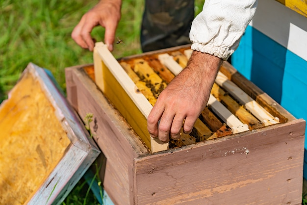 Apiculturist puts a frame with honeycombs in a beehive for bees in the garden in the summer. Premium Photo