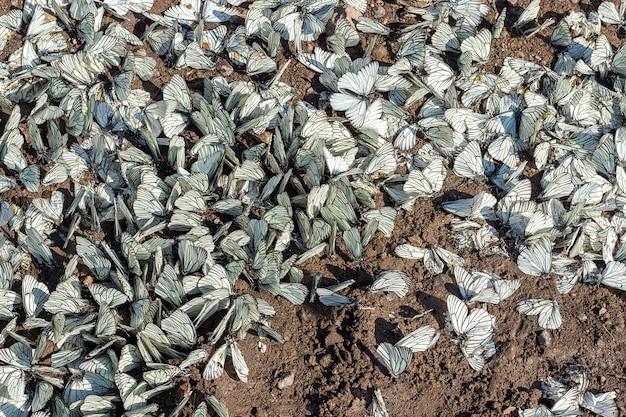 Aporia crataegiの大群は、地面に黒い縞模様の白い家族pieridae。 Premium写真